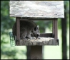 Coonbird