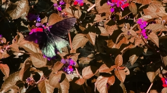 Butterfly Attack